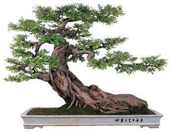El cultivo del bons i nueva acr polis espa a - Cultivo del bonsai ...